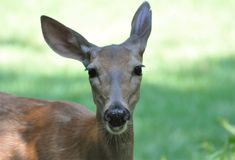 Listening Doe. Shot of a mature doe in a meadow.  Listening intently, but not frightened Royalty Free Stock Image