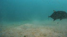 Feeding the beasts on the ocean floor. A shot on the ocean floor as a man feeds the big fishes roaming around the ocean floor stock footage