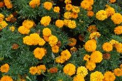 Free Shot Of Tagetes Erecta With Orange Flowers Royalty Free Stock Photos - 152468298