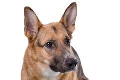Shot of pedigreed brown shepherd Stock Photo