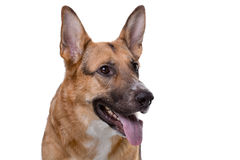 Shot of pedigreed shepherd with tongue Stock Image