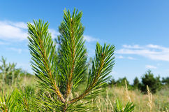 Shot of pine Royalty Free Stock Photos