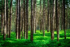 Shot of a pine forest and a thick layer of a moss. The photo is taken in a forest near the Baltic sea royalty free stock photography