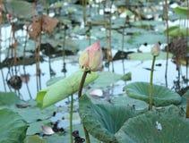 Shot of Pink Petal Lotus in the pond Royalty Free Stock Photos