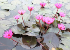Shot of Pink Petal Lotus in the Pool Royalty Free Stock Photography