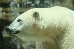 A Shot of a Polar Bear Royalty Free Stock Photo