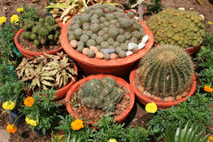 A shot of potted cactus. Potted cactus from a nursery garden, India Stock Photography