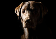 Shot of a Proud Labrador Stock Images