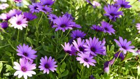 Purple African daisies in the spring. A shot of purple African daisies in the spring. The videos were taken at various Mediterranean gardens stock video