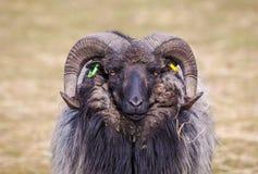 Ram. Shot of a ram in field royalty free stock photo