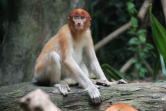 What Are You Looking At. This shot of the red-headed monkey was taken in Singapore Zoological Garden Royalty Free Stock Image