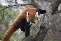Red Panda Climbing royalty free stock images