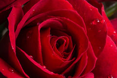 Shot of a red rose for valentine wallpaper. A macro shot of a red rose for valentine day Royalty Free Stock Photos
