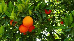 Ripe Oranges on the Tree 04. A shot of ripe and green baby oranges together on the tree. Taken at a Mediterranean orchard in the spring stock footage
