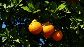 Ripe Oranges on the Tree 03. A shot of ripe and green baby oranges together on the tree. Taken at a Mediterranean orchard in the spring stock video footage