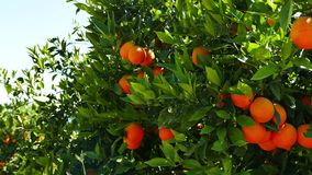 Ripe Oranges on the Tree 05. A shot of ripe and green baby oranges together on the tree. Taken at a Mediterranean orchard in the spring stock video footage