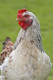 Shot of a rooster Stock Photos