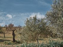 Shot of a rural environment with olives trees royalty free stock photo