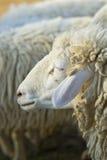 Shot of sheep. Close up shot of sheep Royalty Free Stock Images