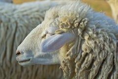 Shot of sheep. Close up shot of sheep Royalty Free Stock Photo