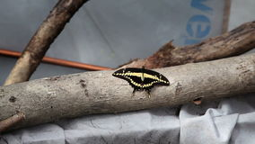 Shot of a small black and yellow butterfly on a branch stock video
