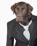 Shot of a Smart Chocolate Labrador in Pinstripe Jacket. Isolated Shot of a Smart Chocolate Labrador in Pinstripe Jacket Royalty Free Stock Images