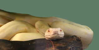 Shot snake python, curled up in the ring Royalty Free Stock Photos