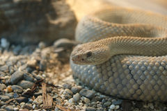 Shot snake python, curled up in the ring royalty free stock images