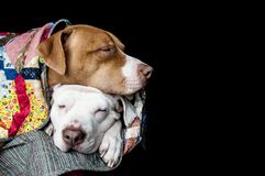 Two Dogs Snuggling with Quilt royalty free stock image