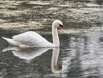Shot of a swan with reflection in Roath Park, Cardiff stock photos