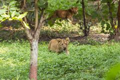 Young lion cubs in the wild. Shot taken at indore zoo Royalty Free Stock Photography