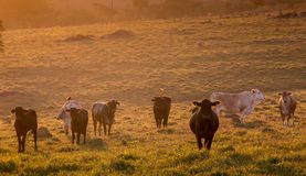Rural Area with grass fed cattle at sunrise. Shot taken in the morning in a rural area of São Paulo. Displaying grass fed beef cattle with tags on their ears stock image