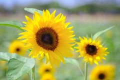 Sunflower with blur background on sunny day during the summer season. royalty free stock photo