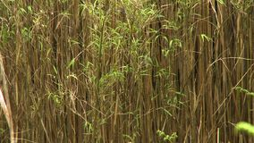 Shot of a Thicket of Bamboo. Steady, medium close up shot of a thicket of bamboo stock footage