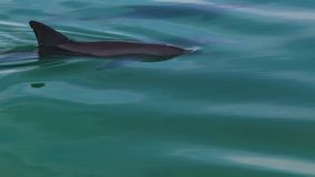 Three dolphins under water. A shot of three dolphins under water. The shot was taken above the dolphins stock video footage
