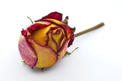 Dried rose on white back ground stock image