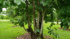 A shot of tree and leaves. A medium shot of tree that tilts up and down stock footage