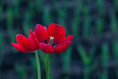 Shot of tulips standing in garden Royalty Free Stock Images