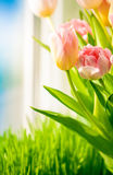 Shot of tulips on windowsill against blue sky Royalty Free Stock Image