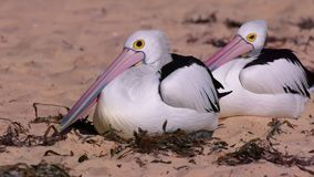 Chilling Australian pelicans. A shot of two australian pelican chilling on the beach stock video