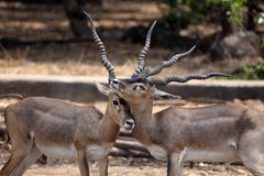Blackbucks Royalty Free Stock Photo