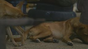 Shot of two brown dogs. Closeup shot of two brown local breed dogs relaxing in a village stock video footage