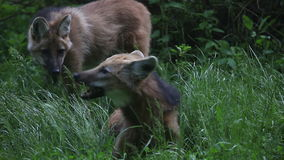 Shot of two foxes where is one chewing and other walking around stock footage