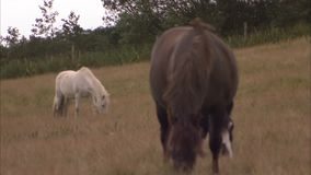 A white and brown horse. A shot of two horses. A white and a brown horse are in the field stock video