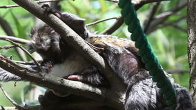 Shot of two monkeys one trying to sleep and other eating lices stock video footage
