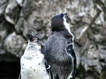 Shot of two penguins stock photos