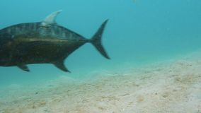 A big black fish near the ocean floor. A shot underwater of a big black fish swimming the vast blue sea stock video