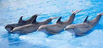 Smiling dolphines at valencia in july 2016 Royalty Free Stock Image
