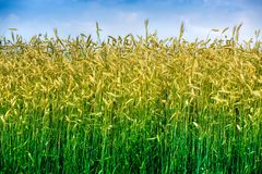 Shot of a wheat field. Royalty Free Stock Photo