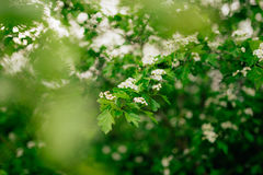 Shot of the white blossom of a spiraea bush. Royalty Free Stock Photography